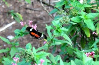 El Salvador mariposa